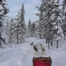 Laponie-chiens de traineau