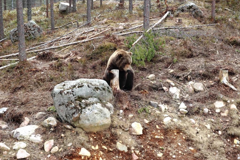 Parc aux ours, Dalarna