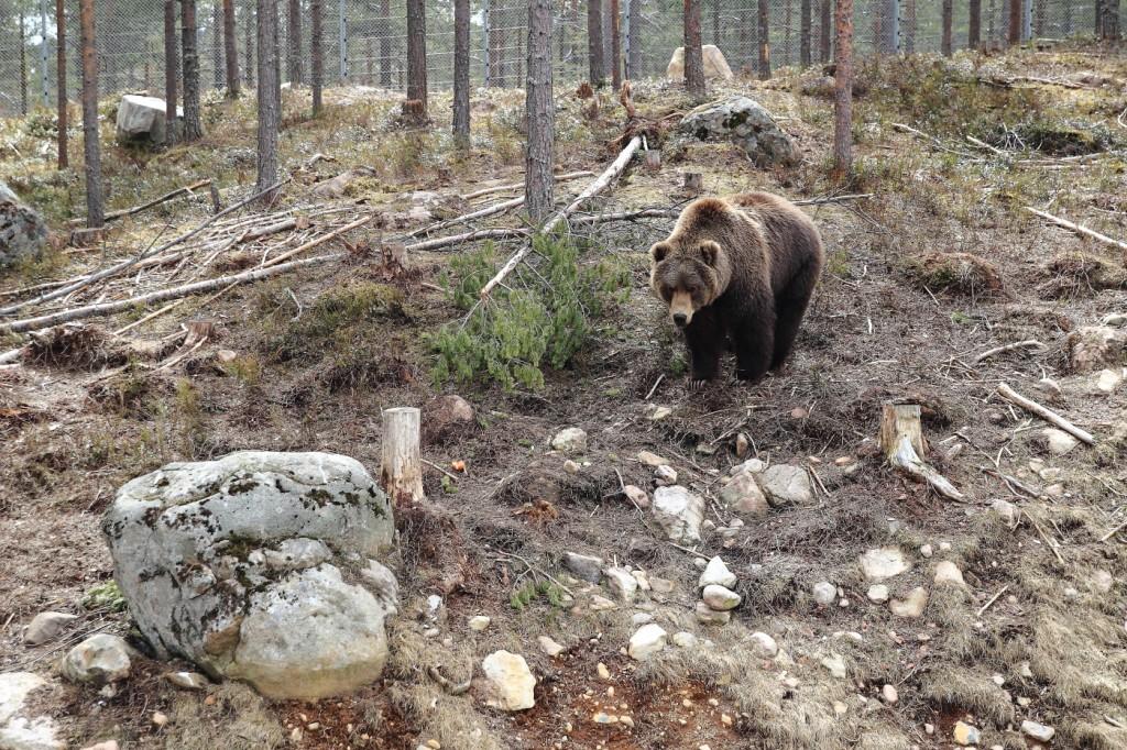 Ours Kodiak, Parc aux ours, Dalarna