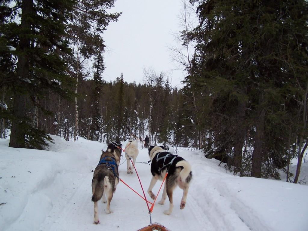 Tour chiens de traineau Laponie Suède
