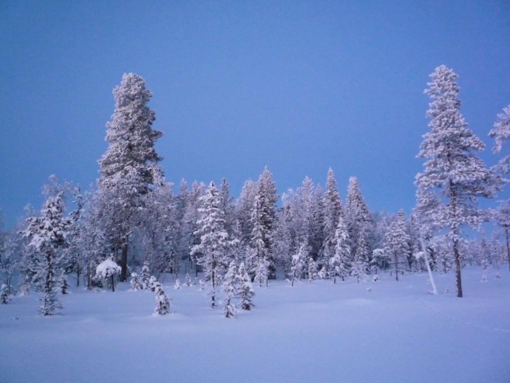 Forêt en Laponie
