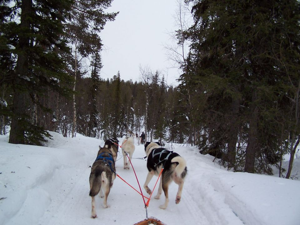 Promenade en chiens de traineau en Laponie