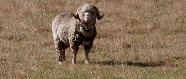 mouton merinos (c) Phillip Capper