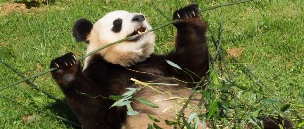musculation panda