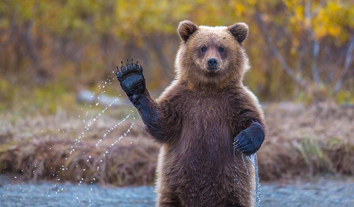 rencontre avec un ours brun Besançon